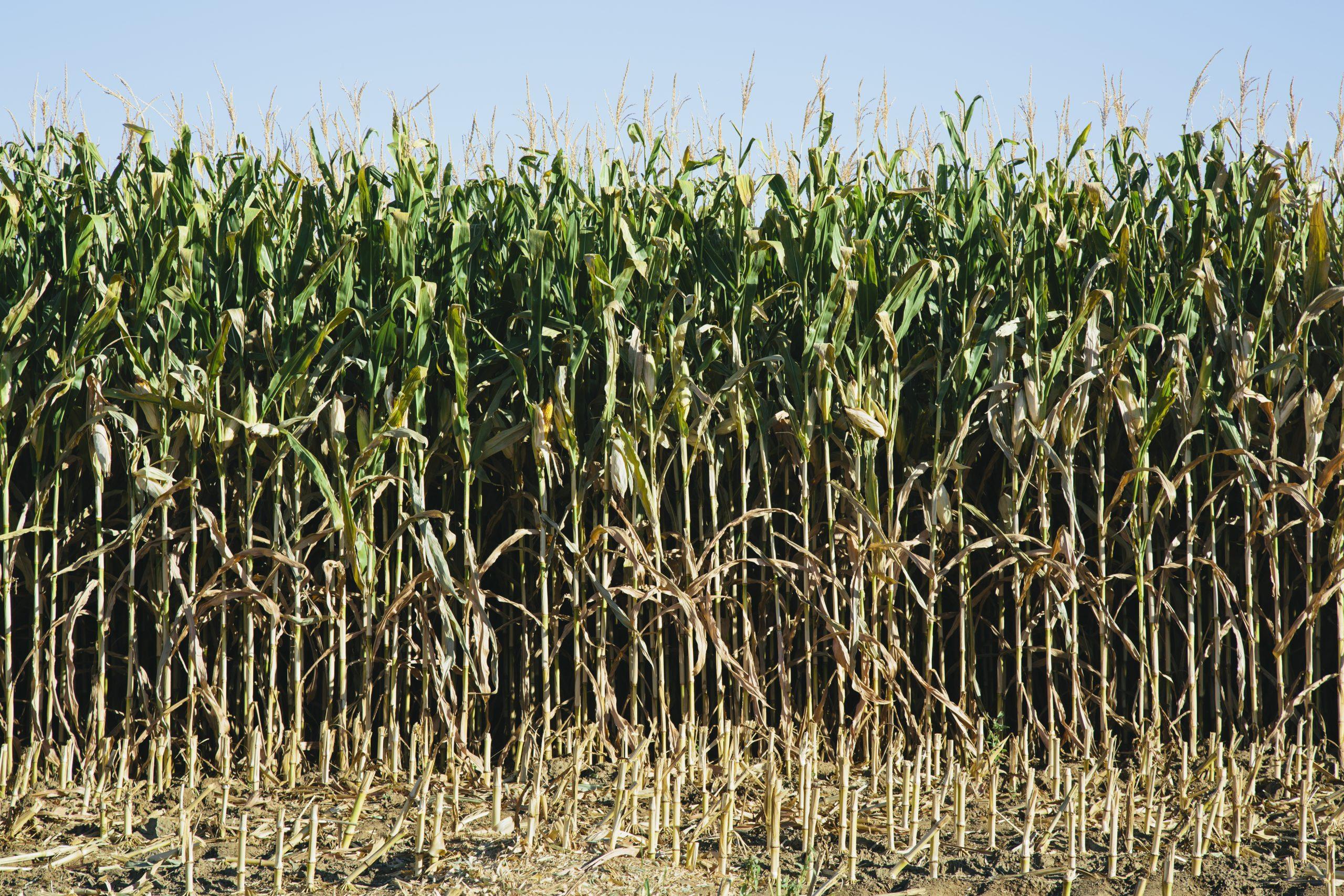 pausa no imposto de importação de milho
